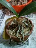 植替え前の胡蝶蘭